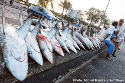 Shark Conservation in Arabia: first international workshop concludes