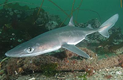 Shark's Sense of Smell: scientist sniffs out the subtleties of acute sense
