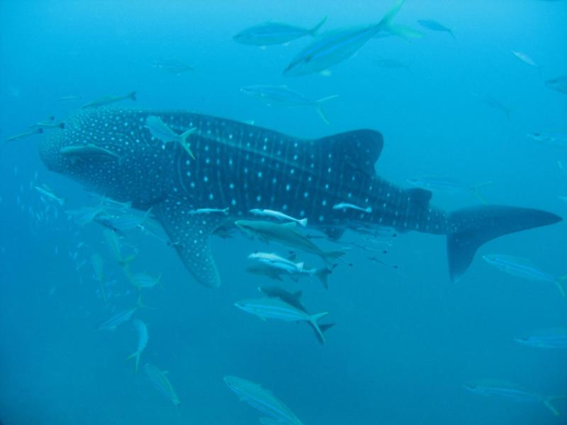 Richelieu Rock - Whaleshark at Richelieu Rock