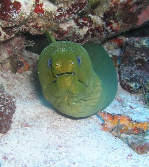 Playa Del Carmen - Green Moray on Tortugas reef