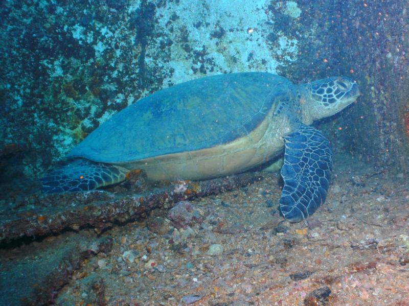 Sea Tiger - resident sea turtle