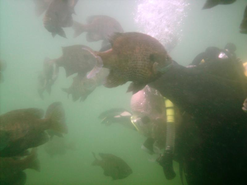 Haigh Quarry - blue gill swarm