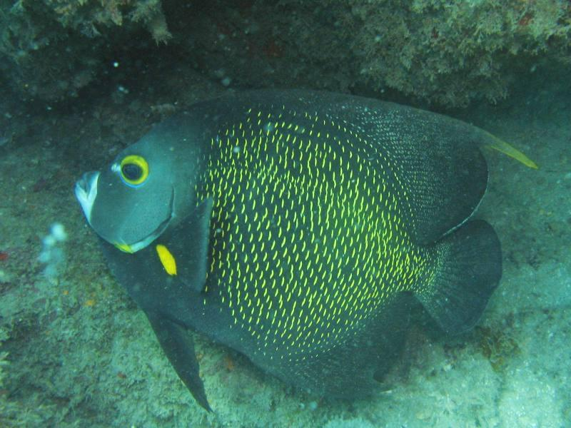 Porcos Island - Pomacanthus paru - French Angel Fish - Frade