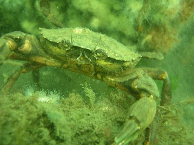 Point Pleasant Rail Road Bridge - Yet another crab