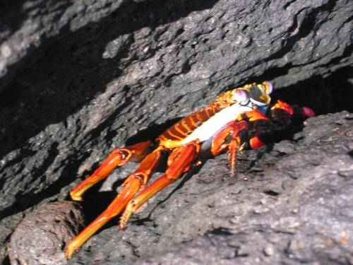 Isla Bartolomé - Sally Lightfoot Crab