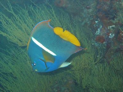 Isla Bartolomé - King Angelfish
