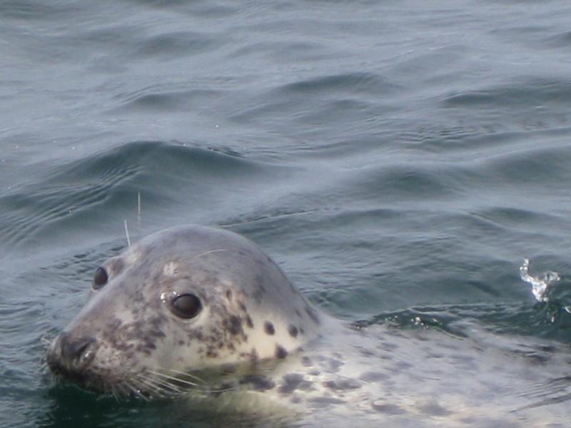 Farne Islands - farne island seal