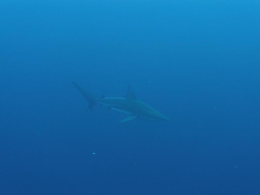 Toilet Bowl - 14 ft black tip reef shark