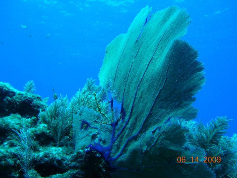 Spanish Anchor - Sea Fan, Spanish Anchor