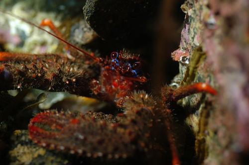 Clais Lagoon - Squat Lobster