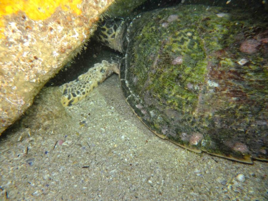 Fish Rock Cave - Sea turtle