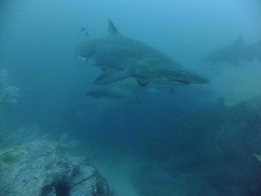 Fish Rock Cave - Grey Nurse Shark