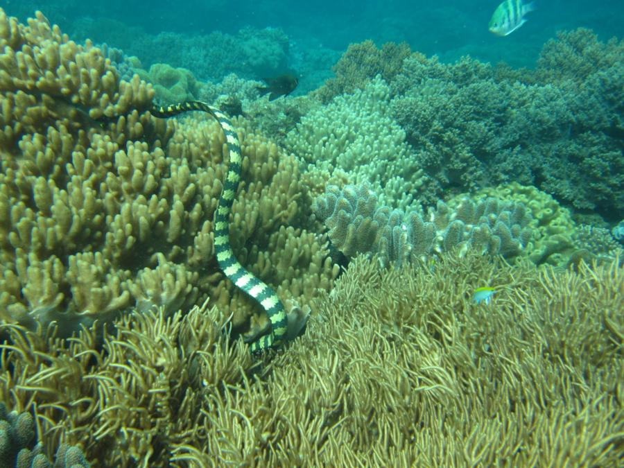 Junkyard - Typical live coral garden with a friendly sea snake