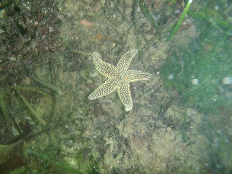 Fort Wetherill - Strangely colored sea star
