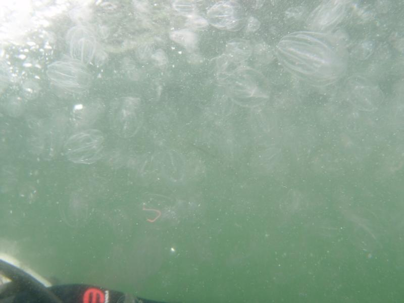 Fort Wetherill - Concentration of sea jellies near shore