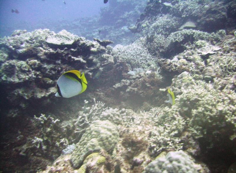 East Zamami-jima - Reef & butterfly fish