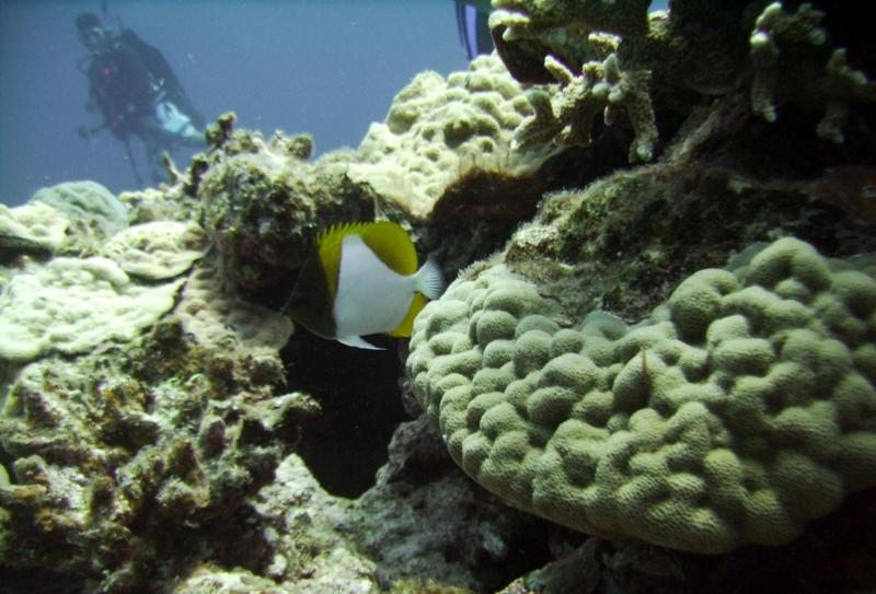 North Tokashiki-jima - Butterfly fish, corals & diver