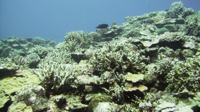 North Tokashiki-jima - Pufferfish fleeing across corals