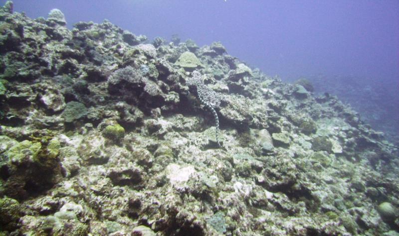 North Tokashiki-jima - Sea snake (banded sea krait)