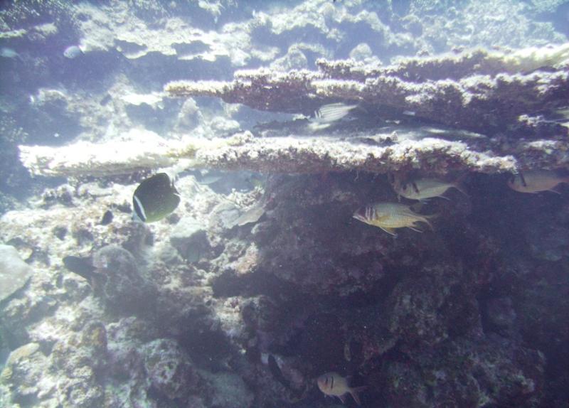 North Tokashiki-jima - Fish hiding under coral ledges