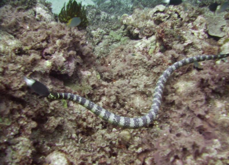 NE Tokashiki - Sea snake (banded sea krait)