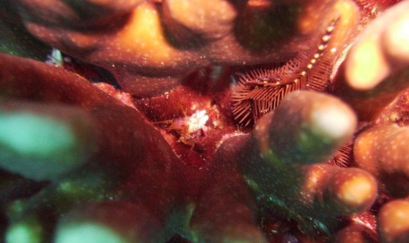 NE Tokashiki - Coral shrimp