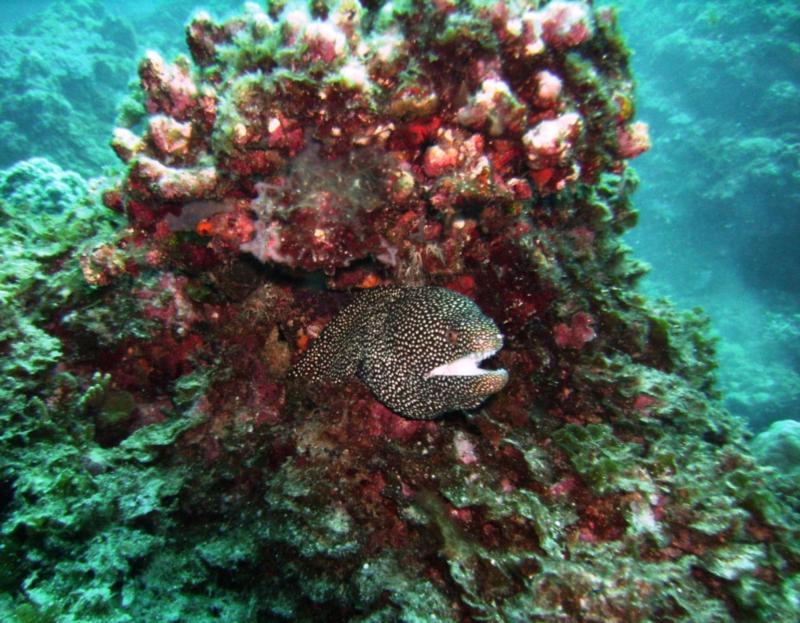 NE Tokashiki - Spotted moray eel