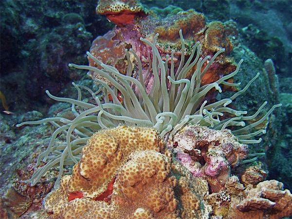 Bari Reef - anemone