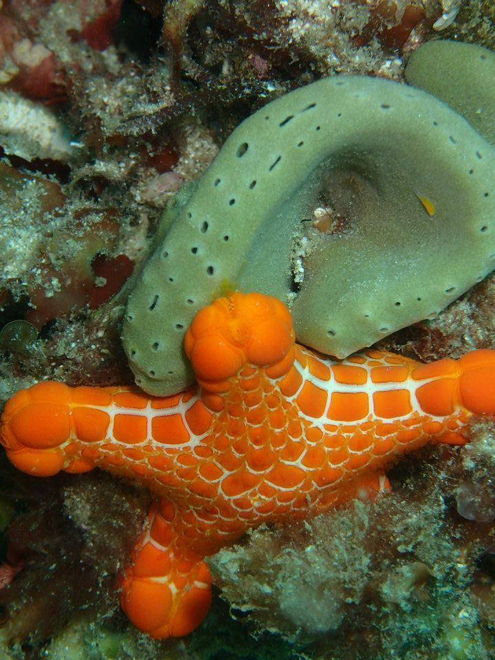 Rottnest Island - Starfish