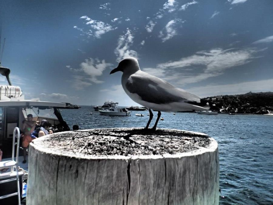 Rottnest Island - Waiting for a hand-out