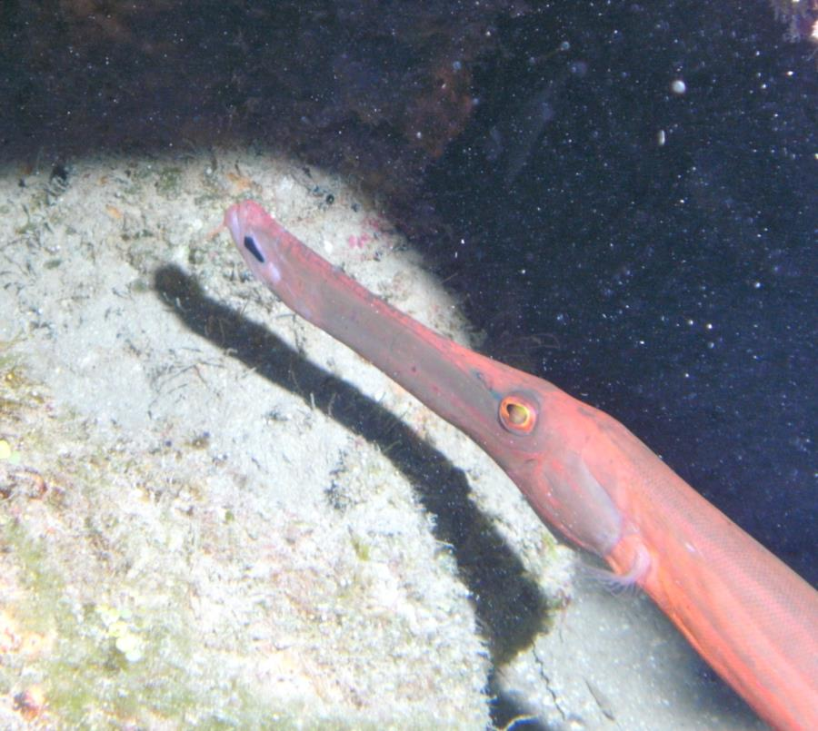 Mayon View Resort Reef - Trumpetfish