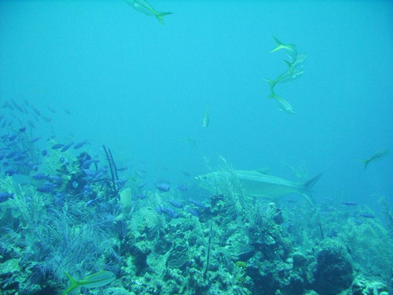 Ambergris Caye - Tarpon and Damselfish