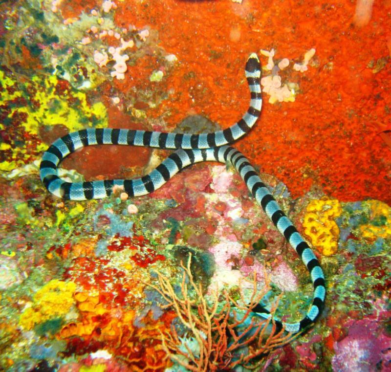 Verde Island - resident banded sea snake