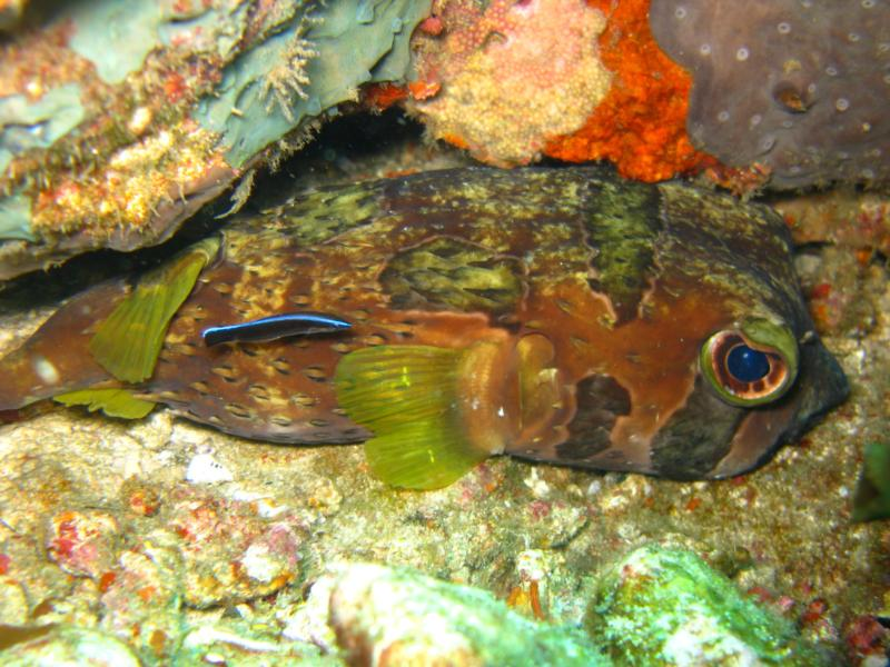 Verde Island - hiding puffer fish