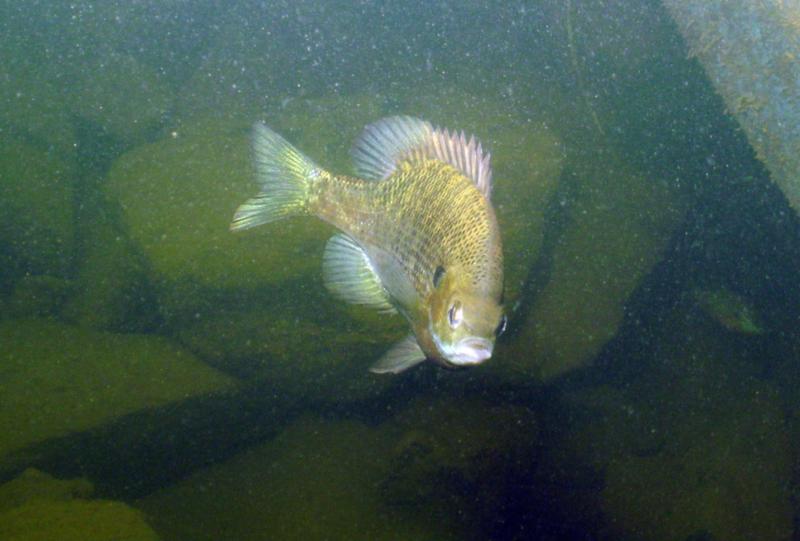 Lake Ouachita - Blakely Dam Fish