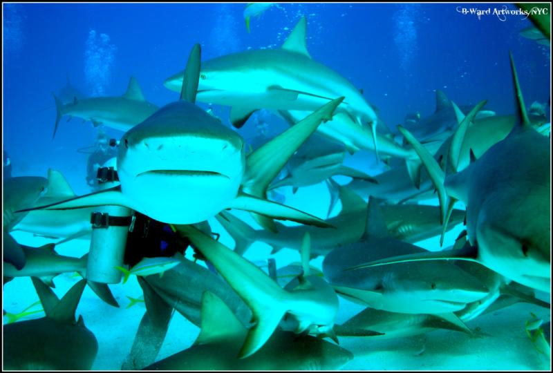 Shark Dive - shark dive, bahamas