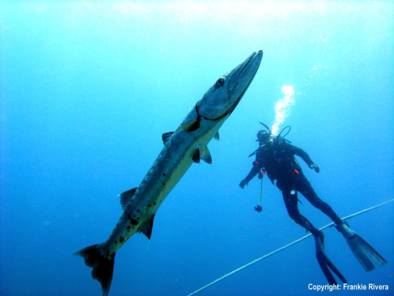 Pezones, Desecheo Island - Great Barracuda w/ Diver