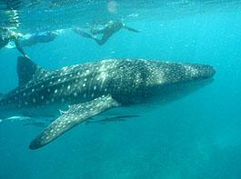 Gladden Split/Spit - Whale Gladden Split Belize