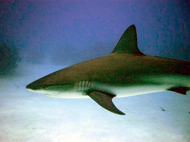 Shark Junction - Caribbean Reef Shark, Shark Junction