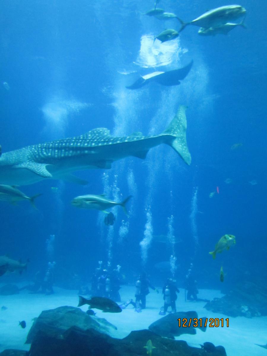 Georgia Aquarium Ocean Voyager Dive - Ocean Voyager Tank