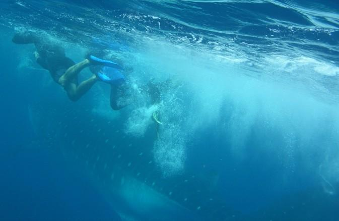 Silver Garden - Whaleshark on our way in