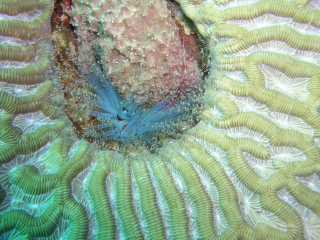 Insidious reef aka Enchanted Forest - Corkscrew in a brain coral