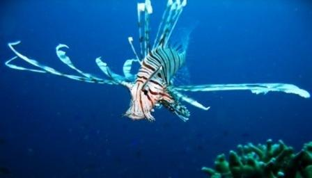 Maman, Anini-iy, Nogas Island - Lionfish