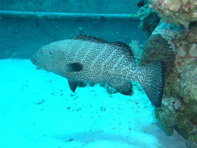 Sunset Reef/House reef - Grouper at the wreck