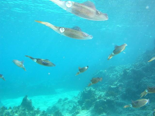 Sunset Reef/House reef - Squid in the shallows