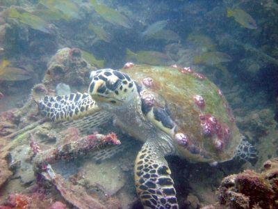 Old Club Reef, Messaid, Qatar - Sea Turtle, Old Club Reef, Qatar