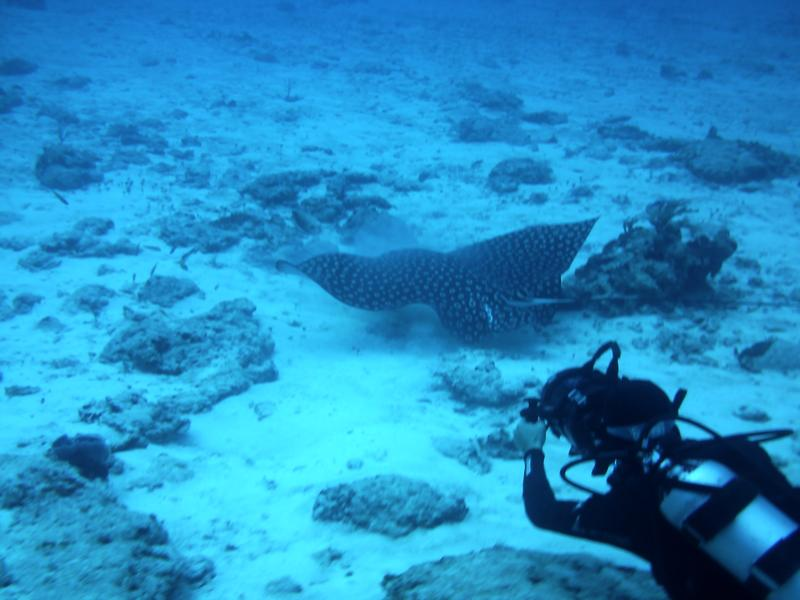 Villa Blanco Reef - Spotted Eagle Ray, One of God's Awesome Creations