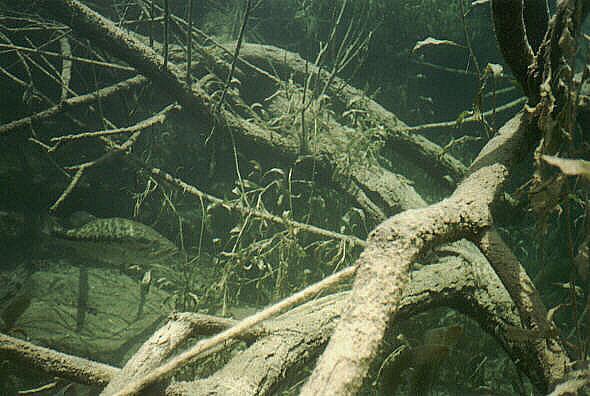 Chalk Bluff on the Nueces River - Chalk Bluff Fish