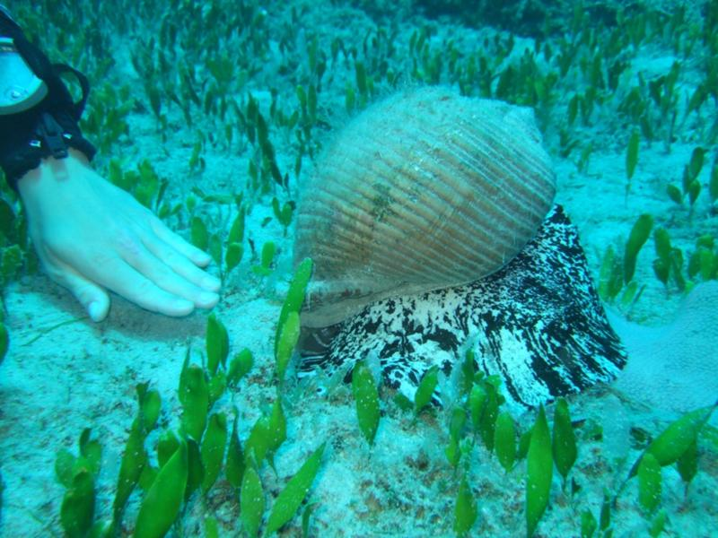 Liamis - Sea Snail