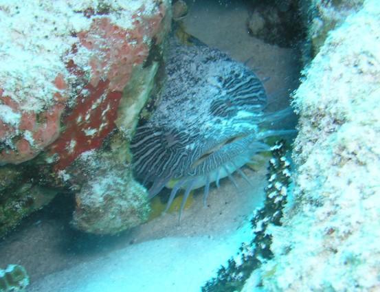 Tormentos Reef - Splendid toadfish